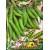 Gartenerbse 'Markana' 30 g