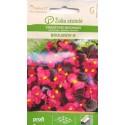 Begonia semperflorens 'Broumov' H, 50 graines