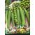 Gartenerbse 'Avola' 50 g