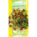 Пеларгония плющелистная 'Summer Showers Burgundy' H, 5 семян