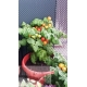Tomate 'Balconi Red' H, 0,1 g