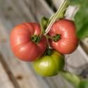 Pomidorai valgomieji 'Esmira' H, 100 sėklų