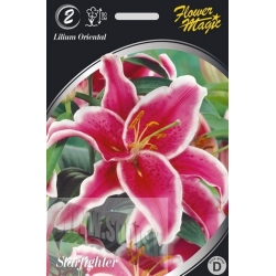 Lilium 'Starfighter' 2 pcs