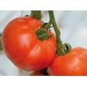 Tomate 'Berberana' H, 250 Samen