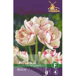 Tulip 'Fruit Belicia' 4 bulbs