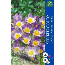 Woodland crocus 'Sieberi Tricolor' 10 bulbs, 5/+
