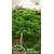 Petražolės sėjamosios 'Moss Curled 2' 2 g