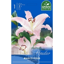 Easter lily 'Marco Polo' 1 pcs.