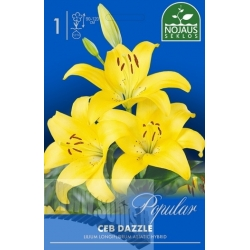 Easter lily 'Ceb Dazzle' 1 pcs.