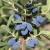 Chèvrefeuille bleu 'Honeybee', 1 plante