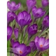 Crocus'Ruby Giant', 1 pcs., 5/+