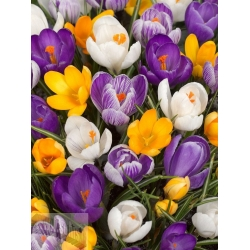 Crocus vernus Mix 1 vnt., 7/8
