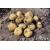 Bulvės sėklinės 'Karelia' 5 kg