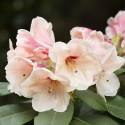 Rododendras 'Hania' 1 vnt.