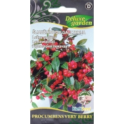 Gaultheria procumbens 'Very Berry' 20 semi