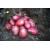 Bulvės sėklinės 'Laura' 5 kg