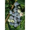 Sodinės šilauogės 'Bluecrop' 1 vnt