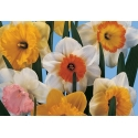 Large-cupped Daffodils